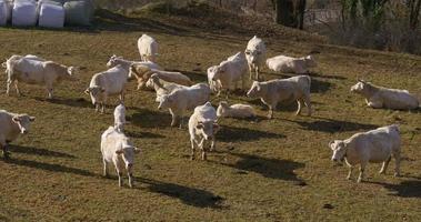 Vall de Nuria Berg weiße Kühe auf Feld 4k