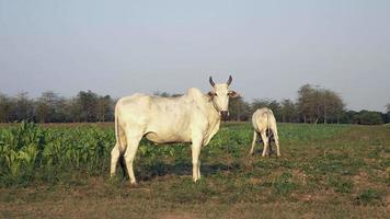 vacas em pé e pastando em um campo próximo a uma plantação de tabaco video
