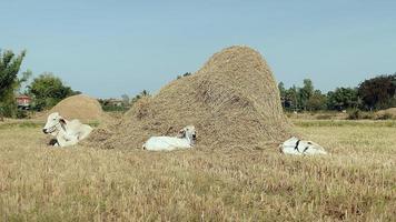 vacas com bezerros deitados em um campo perto de uma pilha de feno video