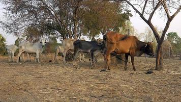 vacas brancas e marrons e novilhas em pé em um campo video
