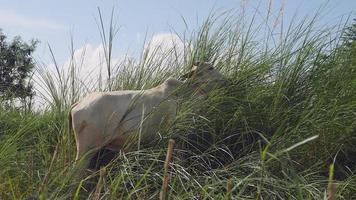 novilha branca pastando na grama alta video