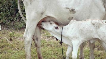 bezerro sugando leite de sua mãe em um campo video