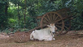 vaca deitada ao lado de um carrinho de madeira em um pátio video