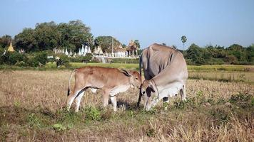 Baby cow licking his mother in a dry paddy field