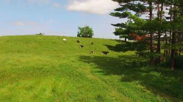 mandria di mucche, bestiame, pascolo in un tranquillo pascolo collinare video