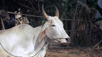 vaca amarrada com corda em um curral e ruminando video