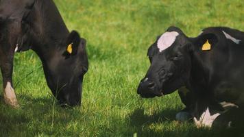 vaches paissant au soleil video