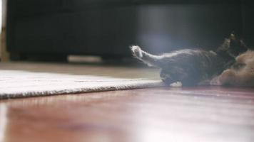 um gatinho salta sobre outro gatinho e eles começam a lutar video