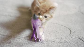 un gattino che morde e viene tirato da un giocattolo da dietro la telecamera