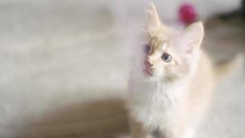 due gattini che giocano con un giocattolo che penzola da dietro la telecamera