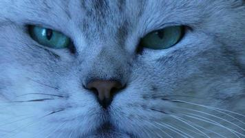gato chinchila britânico de perto