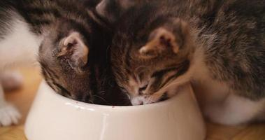 Kittens eating food together from one bowl