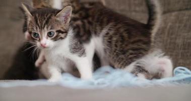 Kätzchen spielen mit einem Wollknäuel auf einer Couch video