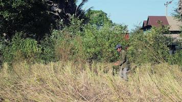 Farmer bundling rice straws into a sheaf in the field