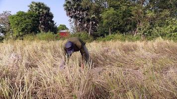 agriculteur regroupant des pailles de riz dans une gerbe dans le champ