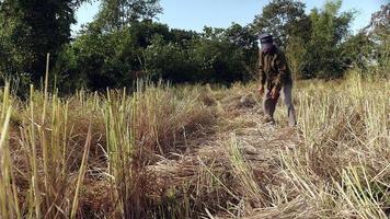 contadino raggruppando cannucce di riso in un covone nel campo