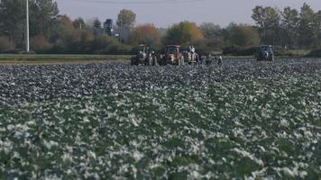colheita de repolho agrícola