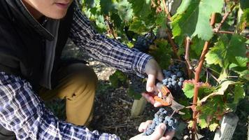 Enólogo cortando uvas en su viñedo
