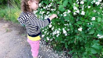bambina tocca il cespuglio di gelsomino. video