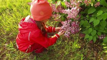 menina criança explorando arbusto lilás de flor. bela tarde ensolarada de verão. video
