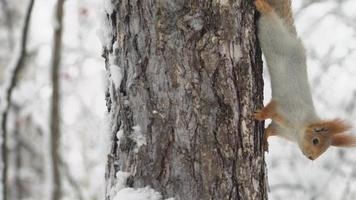 lo scoiattolo striscia su un albero in una foresta invernale