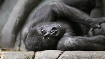 Young gorilla male being bored