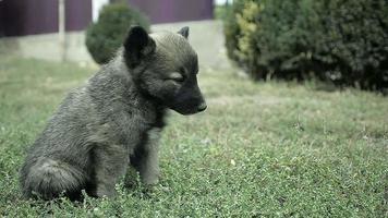 piccolo cucciolo astratto è seduto sull'erba e guardando la telecamera video