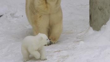 un cucciolo di orso polare corre vicino a lei in inverno video