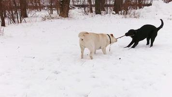 zwei labrador hunde spielen zusammen