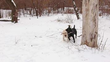 deux chiens labrador jouant ensemble