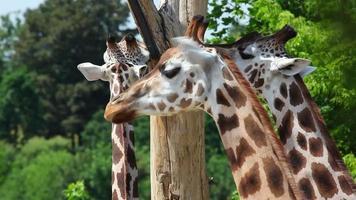 três girafas rothschild