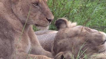 leoa no mato video
