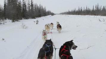 perros de trineo perspectiva humana