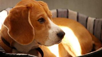 Beagle de pura raza acostado en el sofá en los rayos del sol de la mañana
