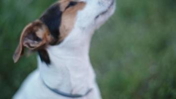 race de chien jack russell terrier renifle quelque chose dans l'air
