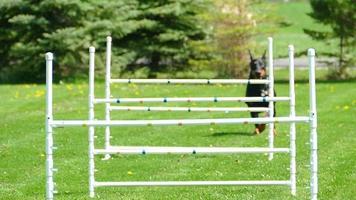 grazioso cane doberman che salta ostacoli di agilità al rallentatore