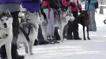 gare di sleddog e skijoring video