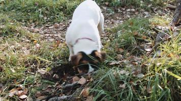 Hunderasse Jack Russell Terrier Spaziergang im Park video