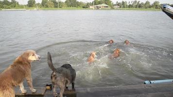 cachorro nadador