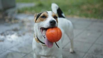 chien avec balle dans la bouche