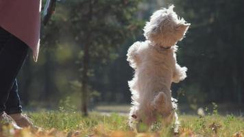 cucciolo salta e solleva la zampa nel parco in autunno