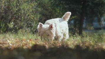 El perro melocotón sacó la lengua y empezó a saltar. raza de perro inteligente