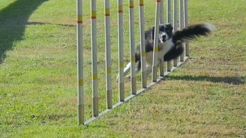 dog agility, weave poles video