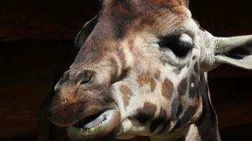 dettaglio della giraffa da masticare video