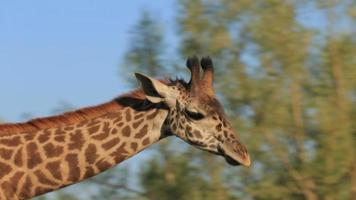 giraf in de dierentuin