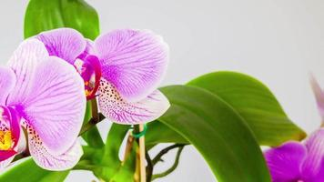 flores de orquídea, stop-motion 4k