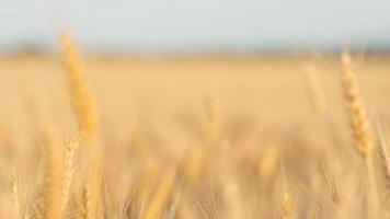 mano de mujer corriendo a través del trigo