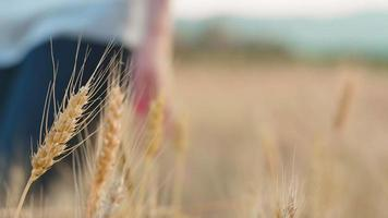 la main de la femme qui traverse le blé