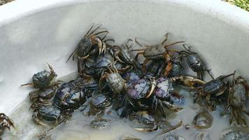 Close-up on crabs caught in rice fields