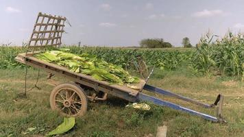 Harvested tobacco leaves laid on a cart nearby a tobacco field